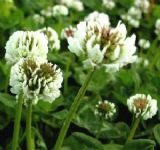 White Clover 1KG seeds - FREE POST